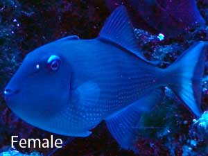 Female Blue Throat Triggerfish