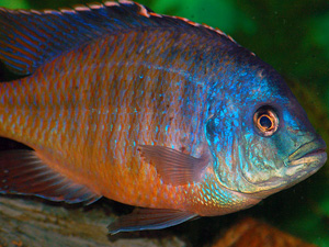 Red Empress Cichlid