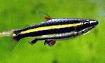 Dwarf Pencilfish