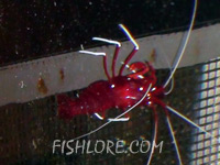Red Fire Shrimp