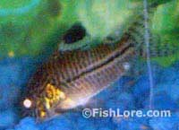 Spotted Corydoras