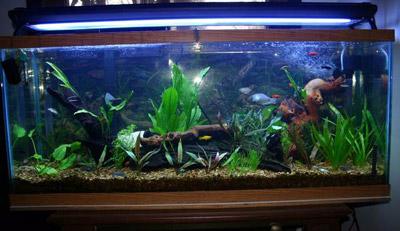Planted Community Aquarium