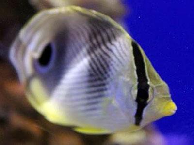 Four-eyed Butterflyfish