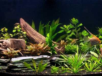 Angelfish Garden Tank