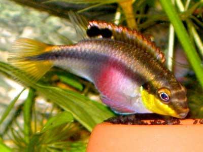 Female Kribensis