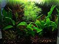 Freshwater planted nano