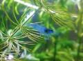 Blue Jelly Shrimp