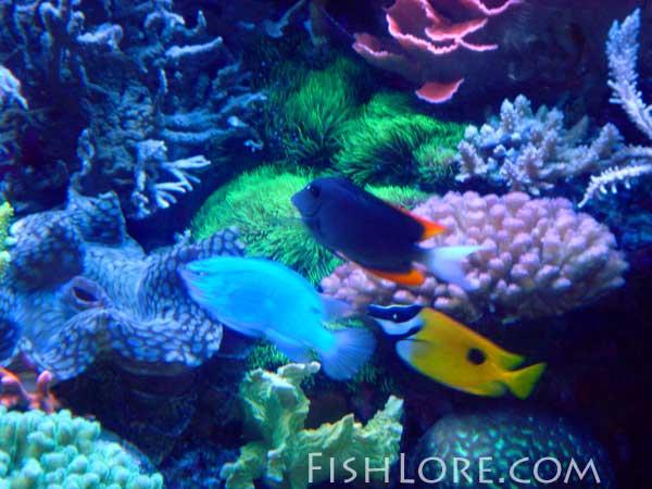 reef tank coral