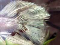 Fish Fin Rot