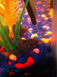 ImageUploadedByFish Lore Aquarium Fish Forum1403379095.741447.jpg