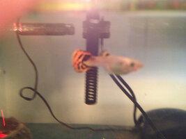 ImageUploadedByFish Lore Aquarium Fish Forum1407739283.775053.jpg