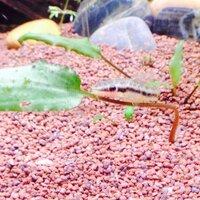 ImageUploadedByFish Lore Aquarium Fish Forum1409141239.285994.jpg
