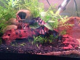 ImageUploadedByFish Lore Aquarium Fish Forum1425918138.195002.jpg