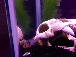 ImageUploadedByFish Lore Aquarium Fish Forum1427678465.818426.jpg