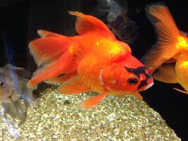 ImageUploadedByFish Lore Aquarium Fish Forum1431918043.625643.jpg