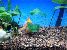 ImageUploadedByFish Lore Aquarium Fish Forum1435910396.553071.jpg