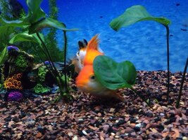 ImageUploadedByFish Lore Aquarium Fish Forum1435910506.768573.jpg
