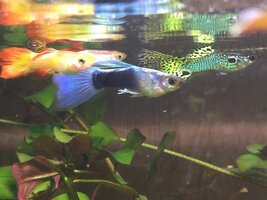 ImageUploadedByFish Lore Aquarium Fish Forum1436498296.542525.jpg