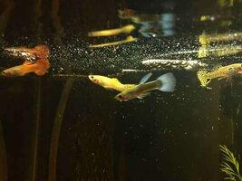 ImageUploadedByFish Lore Aquarium Fish Forum1436542969.246781.jpg