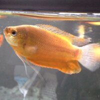 ImageUploadedByFish Lore Aquarium Fish Forum1436747058.426571.jpg