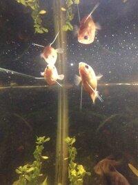 ImageUploadedByFish Lore Aquarium Fish Forum1436925566.121433.jpg
