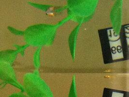 ImageUploadedByFish Lore Aquarium Fish Forum1439589637.887149.jpg