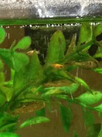 ImageUploadedByFish Lore Aquarium Fish Forum1439589666.255425.jpg