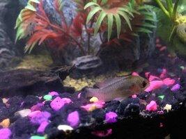 ImageUploadedByFish Lore Aquarium Fish Forum1450210233.569007.jpg
