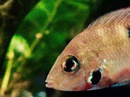 ImageUploadedByFish Lore Aquarium Fish Forum1453831976.048531.jpg