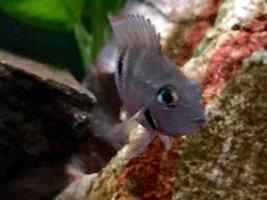 ImageUploadedByFish Lore Aquarium Fish Forum1453832027.330742.jpg