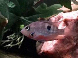 ImageUploadedByFish Lore Aquarium Fish Forum1453832053.575770.jpg