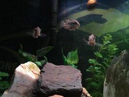 ImageUploadedByFish Lore Aquarium Fish Forum1453832095.023291.jpg