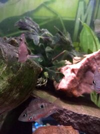 ImageUploadedByFish Lore Aquarium Fish Forum1453832107.692611.jpg
