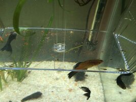 ImageUploadedByFish Lore Aquarium Fish Forum1456282600.576565.jpg
