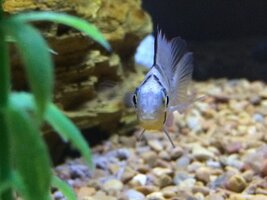 ImageUploadedByFish Lore Aquarium Fish Forum1468776617.550443.jpg