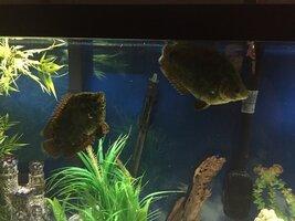 ImageUploadedByFish Lore Aquarium Fish Forum1473035756.396836.jpg