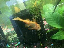 ImageUploadedByFish Lore Aquarium Fish Forum1485664493.716919.jpg