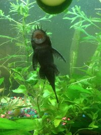 ImageUploadedByFish Lore Aquarium Fish Forum1485780929.621961.jpg