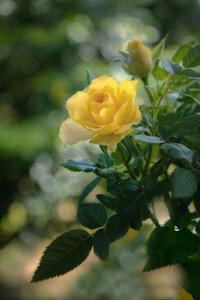 yellow rose long.jpg