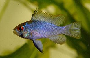 blue-ram-2.jpg