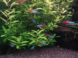 16.11.23 Neon Tetras in Cube Aquarium Steve Joul - Copy.JPG