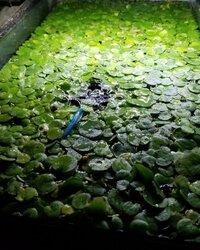 Frogbit 2.jpg