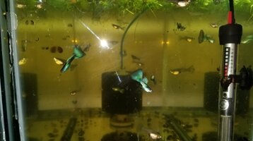 Green Moscow Guppies 2.jpg
