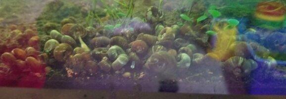 Ramshorn Snails.jpg