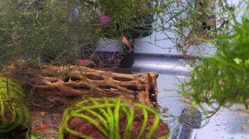 Red Cherry Shrimp Tank.jpg
