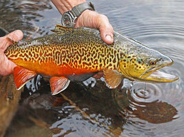 Tiger-Trout-Fly-1.jpg