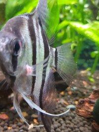 ang fish.jpg