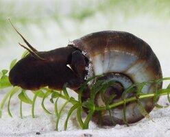 Ramshorn_Snail_Planorbis_corneus_Plants_for_Ponds_Ltd_1400x.jpg