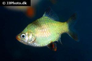 puntigrus-anchisporus-platinum-green.jpg