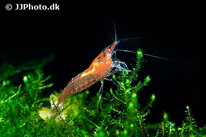 neocaridina-davidi-red-shrimp-6.jpg